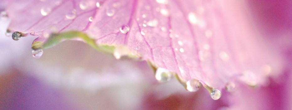 goutelle d'eau rosée du matin macro