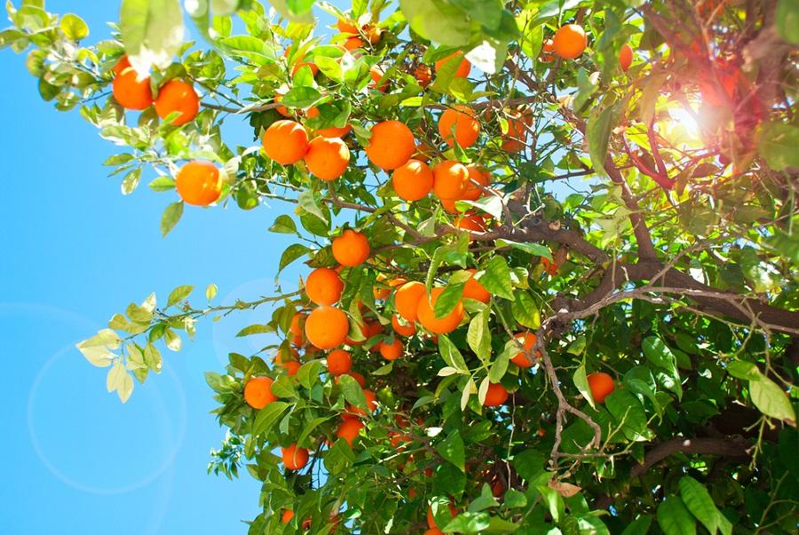 Orangers Sévilles